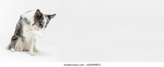 A Border Collie dog has a paw on its nose because it is ashamed of its bad behavior. The dog is colored in shades of white and black and has long and delicate hair. An excellent herding dog. Panoramic