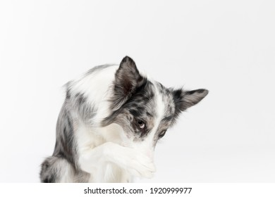A Border Collie dog has a paw on its nose because it is ashamed of its bad behavior. The dog is colored in shades of white and black and has long and delicate hair. An excellent herding dog.