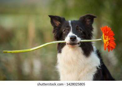 border collie dog holding red flower in mouth