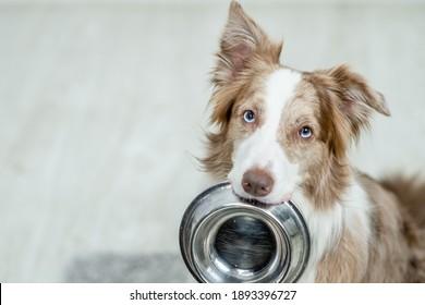 Border Collie Hund hält eine Schüssel im Mund und sieht Kamera. Leerzeichen für Text