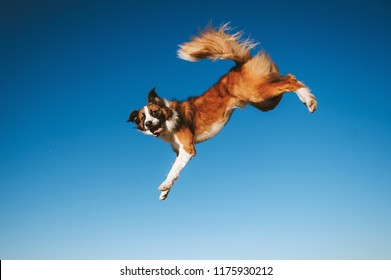 Border Collie dog is jumping on blue sky background
