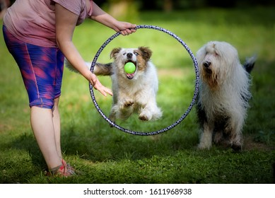 Border Collie dog jumping through a hoop to try to catch a ball thrown by its owner, while a Bobtail watches in the background