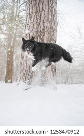 border collie dog jumps on tree in winter forest