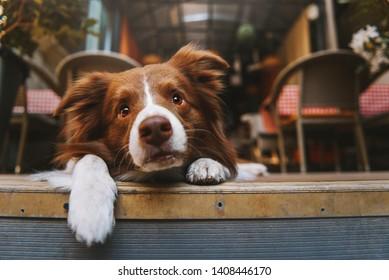 Border collie dog is laying on summer cafe veranda