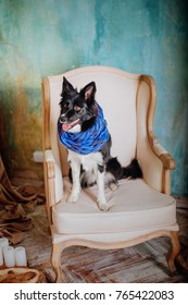 Border Collie Dog lies in a chair in the loft interior