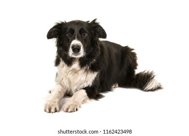 Border collie dog lying down looking at the camera isolated on a white background