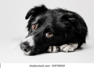 Border Collie dog lying head on paws on a white background