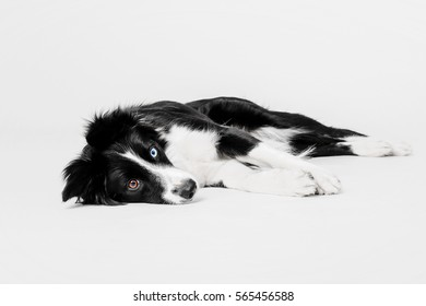 Border collie dog lying on a white background