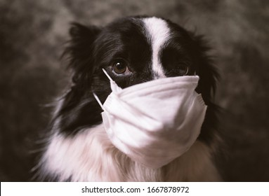 Border collie dog with medical mask against virus. Concept about animals and coronavirus covid19