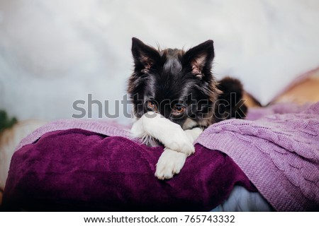 Border Collie Dog On A Bad At Home