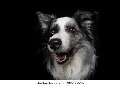 Border collie dog on black background