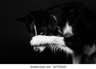 Border Collie dog on a black background