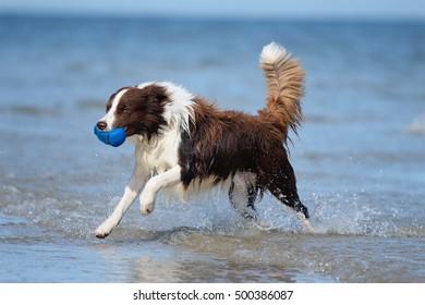 Border Collie Dog on sea in happiness retrieving happy splash in ocean waves