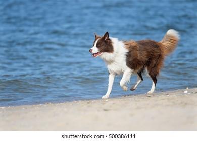 Border Collie Dog on sea