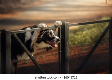 Border collie dog on sunset