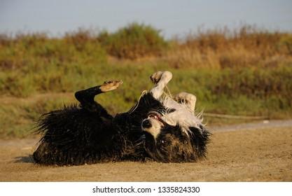 Border Collie dog outdoor portrait rolling in dirt