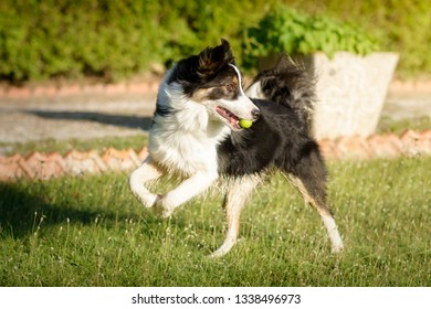Border Collie dog playing with a ball in a garden in a sunny summer day