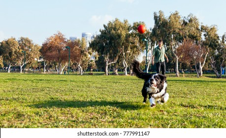 A Border Collie dog playing fetch with his owner/trainer and a red rubber ball in the park on a sunny day.