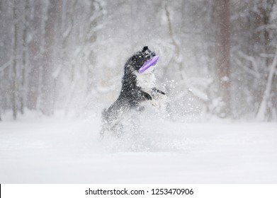 Border Collie dog playing in snow with plastic disk in winter park