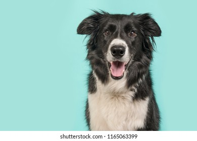 Border Collie dog portrait looking at the camera on a blue turquoise background