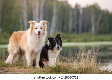 border collie dog posing in nature together