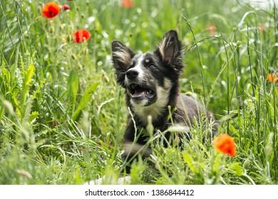 Border collie dog puppy in a field