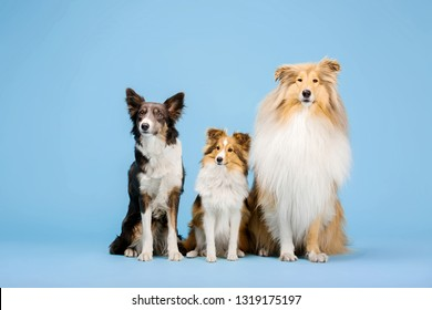 Border Collie dog, Rough Collie dog and Shetland Sheepdog dog in the photo studio on the blue background