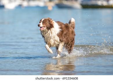Border Collie dog running on the beach