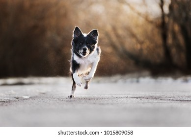 border collie dog running outdoors