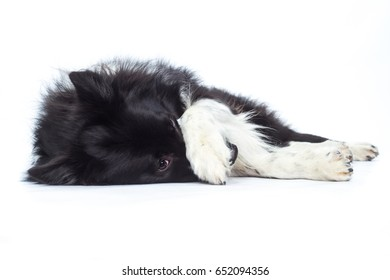 Border Collie dog shepherd lies on the side and is ashamed with paw on nose