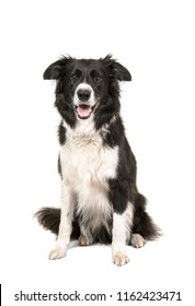 Border Collie dog sitting looking at camera isolated on a white background
