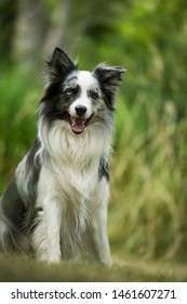 Border collie dog sitting in a meadow