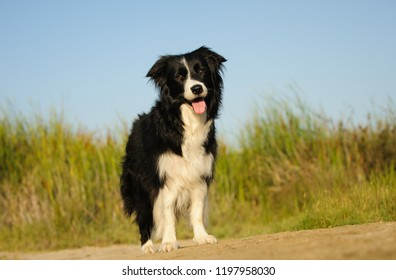 Border Collie dog standing by field of long grass