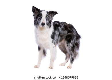 Border collie dog standing in front of a white background