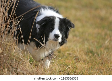 Border Collie dog standing in the grass