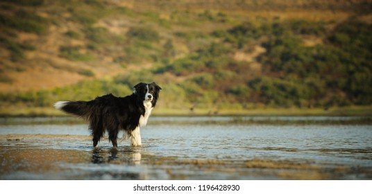 Border Collie dog standing in shallow water in natural environment