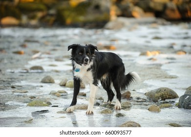 Border Collie dog standing in shallow river water