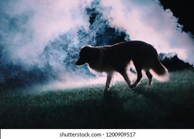 Border Collie dog is walking through the smoke in the night
