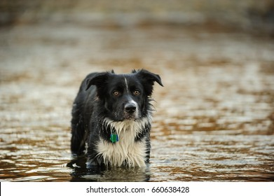 Border Collie dog in water