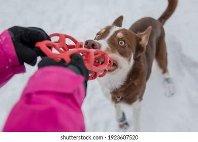 Border collie dog in winter snowing landscape