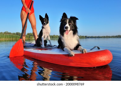 Border collie dogs having rest on the sup board
