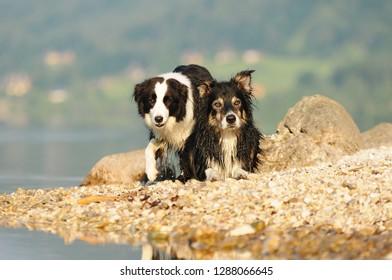 Border collie enjoys the sun at the beach. Dog at a lake on the beach.