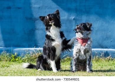 Border Collie and Epagneul Breton Dog firends hugging