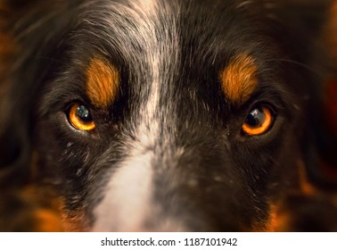 Border collie eyes close up. Beautiful fiery colors. Tri colored