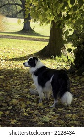 border collie in fall park