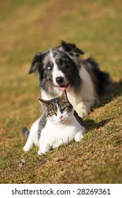 Border Collie fixing his gaze on a cat