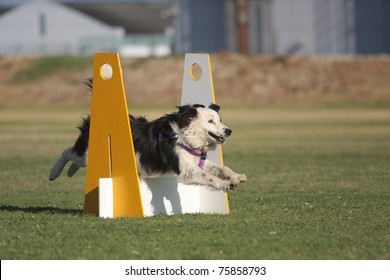 Border Collie Flyball Race