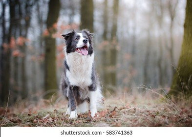 Border collie in the forrest in winter time
