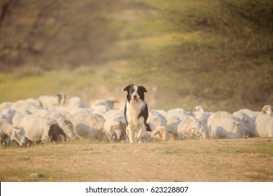 Border collie front of herd of sheep walking along the grass in a cloud of dust