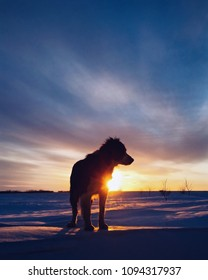 Border collie in front of a sunset in Manitoba